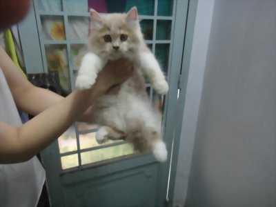 Mèo ald màu bicolor dễ thương ở TPHCM
