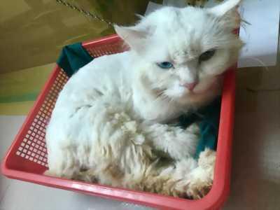 Mèo ald đực 1,5 tuổi