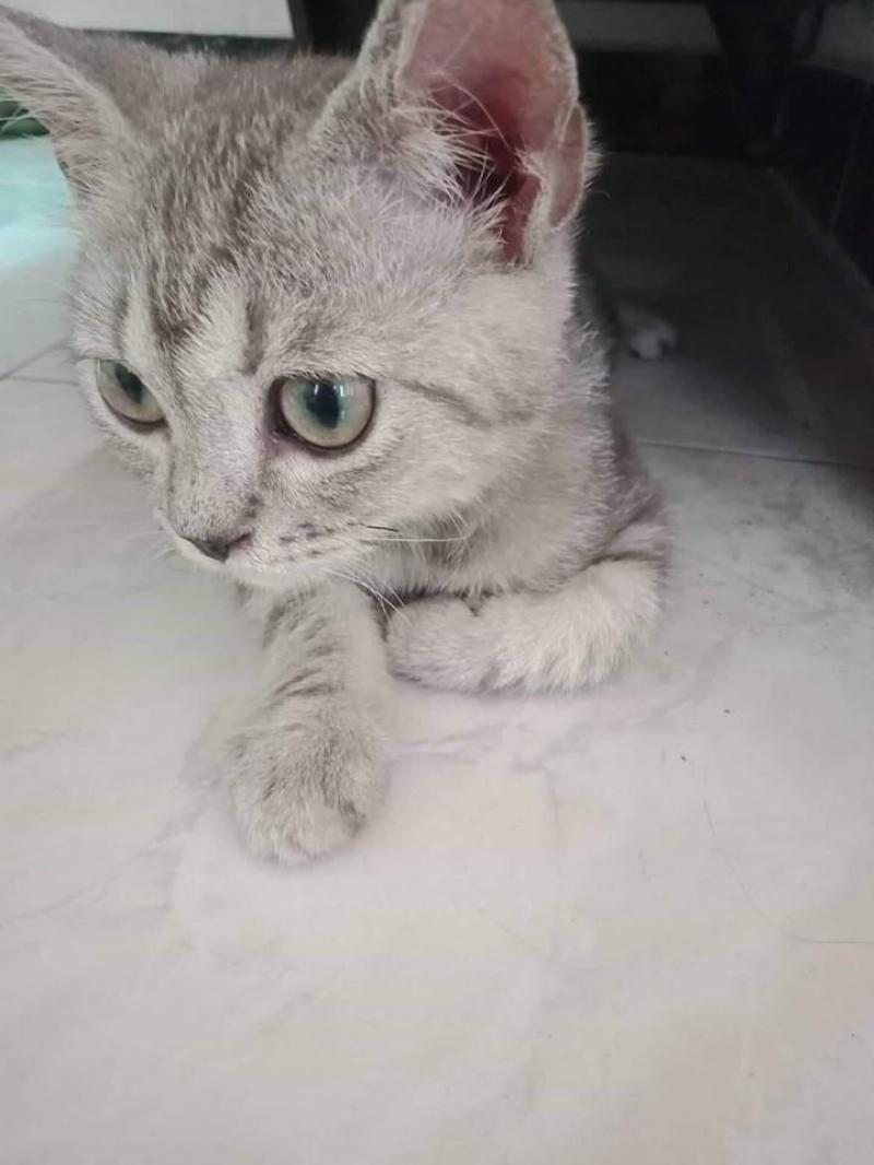 cần tìm chủ mới cho bé mèo anh lông ngắn đực 3-4 tháng