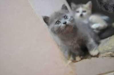 Bán mèo Anh lông ngắn và mèo Anh lông dài giá hạt dẻ