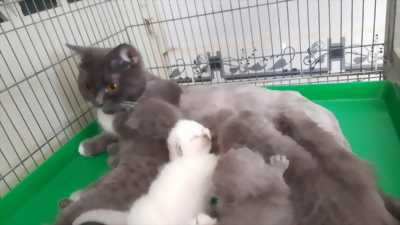 Bán mèo mẹ và mèo con anh lông ngắn tai cụp