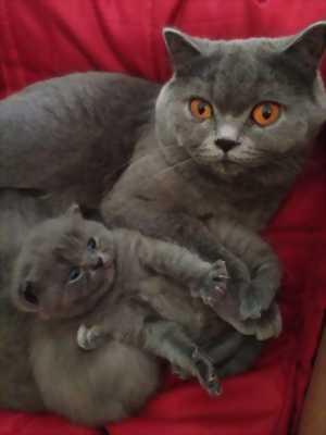 Mèo aln màu xám xanh 2 tháng