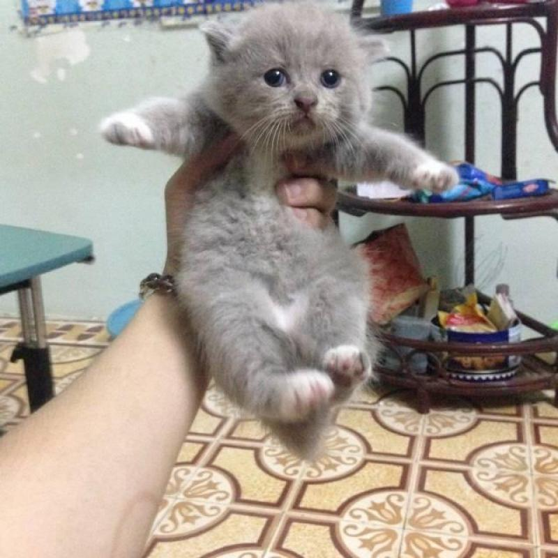 Bán bé Mèo ALN đã được 2 tháng giá rẻ bất ngờ