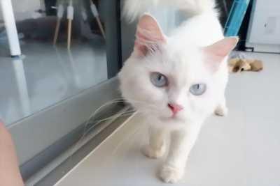 Mèo Anh Lông Dài Xinh Xắn