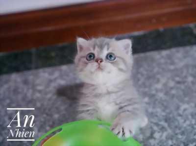 mèo anh lông ngắn, scottish, munchkin, mèo chân ngắn