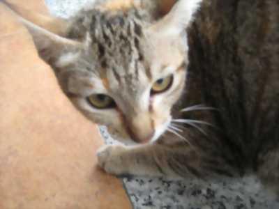 Bán mèo mướp 2 tháng tuổi