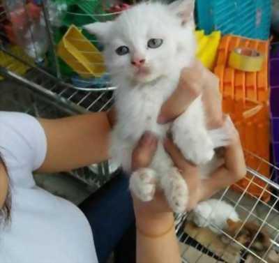 Cần bán em mèo lai Anh + Ba Tư