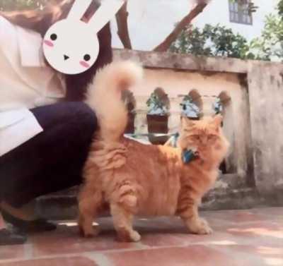 Bán gấp mèo Anh cực đẹp
