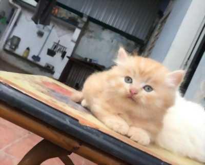 Cần bán 2 em mèo Anh lông dài