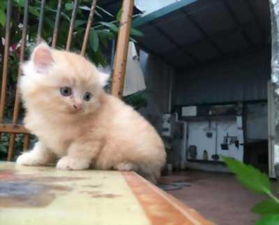Bán mèo Anh lông dài siêu cute