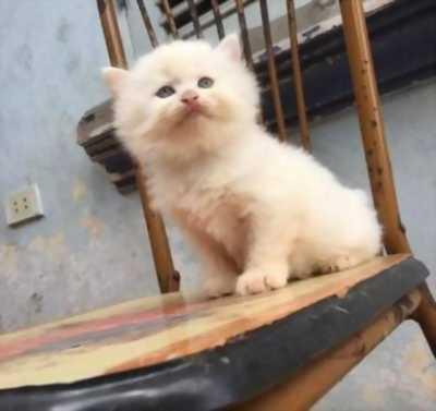 Bán nhanh 2 bé mèo Anh lông xù