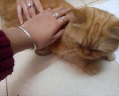 Tìm chủ cho em mèo Anh lông dài
