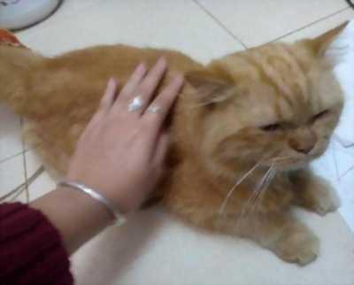 Bán gấp em mèo Anh lông dài