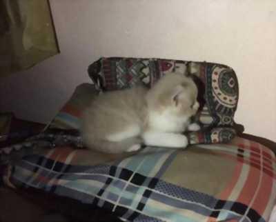 Bán gấp mèo Anh lông dài 2 tháng