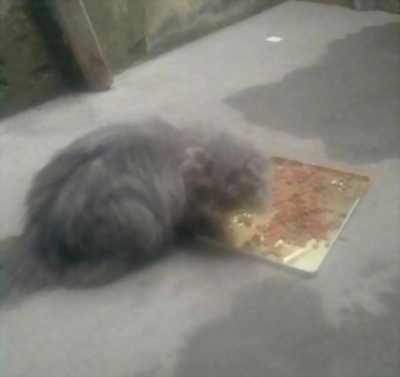 Bán nhanh mèo Anh lông xám dài