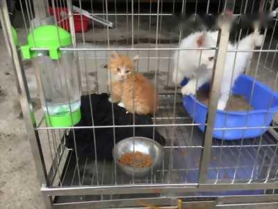 Bán 2 em mèo Anh lông dài.