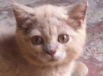 Bán mèo Anh lông dài đẹp trai