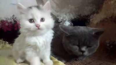 Bán mèo Anh hàng độc
