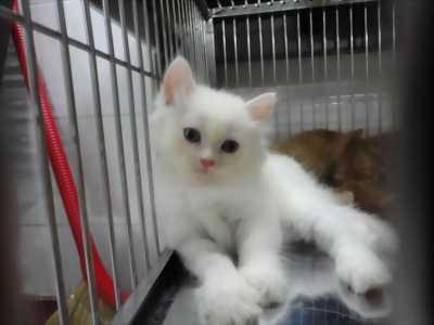 Cần bán em mèo đực trắng