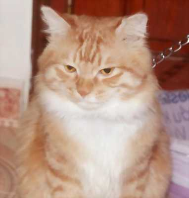 Bán chàng mèo Ann 3.5 tuổi