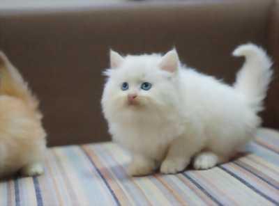 Cần bán gấp mèo Anh lông dài