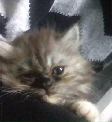 Bán mèo lai Anh lông dài 4 tháng