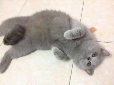 Bán mèo cái Anh lông dài