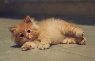 Cần bán mèo Anh thuần chủng, lông vàng, đẹp và khỏe.