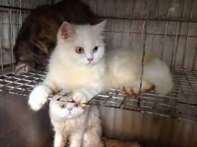 Bán đàn mèo ALN, bố mẹ nhà nuôi, bố Bim nổi tiếng nhập khẩu từ Nga