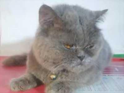 Nhận phối giống mèo Anh lông ngắn, phối giống mèo tai cụp, phối giống mèo Classic silver