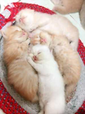 Bán 6 bé Mèo Anh gần 2 tháng tuổi Dễ thương