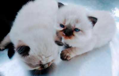 2 bé mèo Hyma mập ú dễ thương Cực hiếm