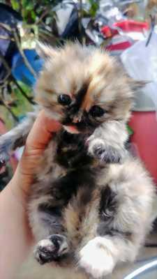 Bé mèo Anh siêu dễ thương tìm chủ yêu thương