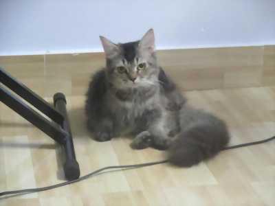 Mèo anh ald munchkin chân ngắn đực 6 tháng