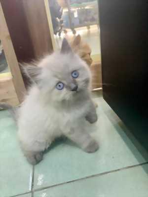 Bé Mèo Hyma dễ thương siêu quậy 2 tháng tuổi tìm chủ yêu thương