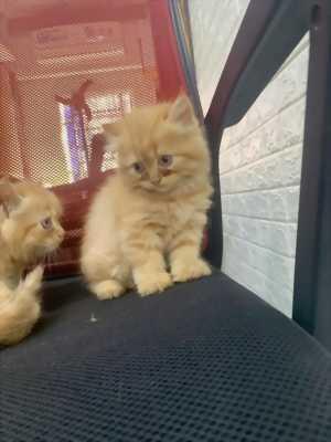 2 Bé Mèo Anh 2 tháng tuổi vàng cam dễ thương