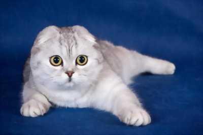 Mèo aln scottish thuần