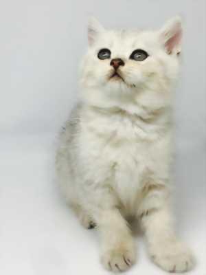Bán mèo cưng, scottish cái cụp tuxedo - HN