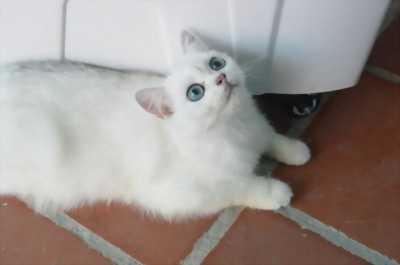 Mèo trắng tinh ( mèo bạch)