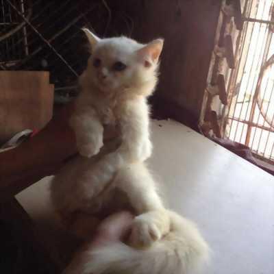 Mèo trắng tuyền nhà đẻ mắt xanh hai màu