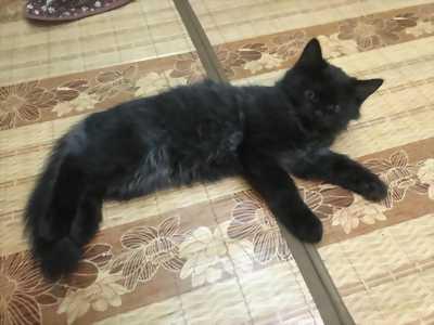 Bán Mèo Anh Lông Dài Đen