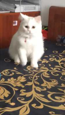 Mèo ALD cái thuần (8tháng)+(phụ kiện đắt đỏ)