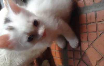 Bán 2 bé mèo con lai lông trắng
