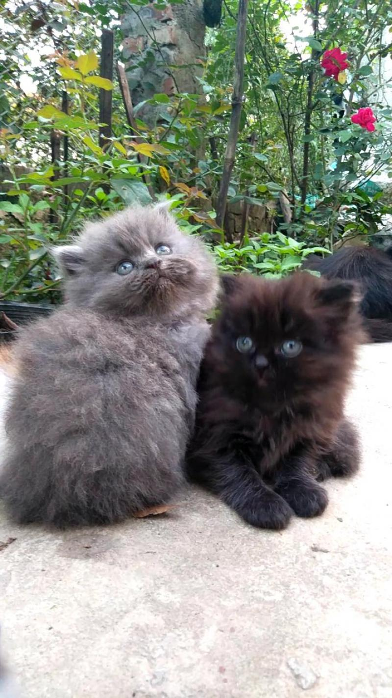 Cần bán mèo ALD thuần chủng