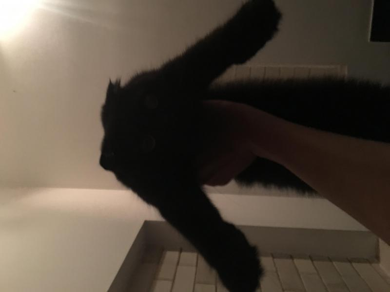 Bán mèo aln cái tai cụp