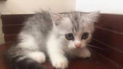 Mèo Anh thuần chủng, lông ngắn và lông dài. Giá từ 2.000.000