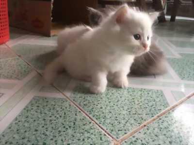 Mèo anh trắng 2 tháng tuổi