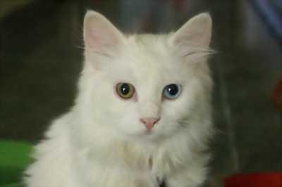Mèo anh lai 34 2 màu mắt