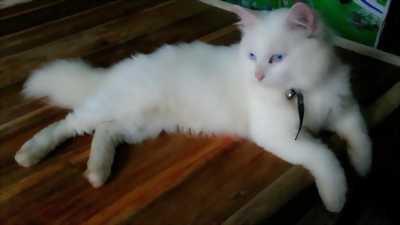 Cần để lại bé mèo Nga đực, ngoan hiền 4-5kg
