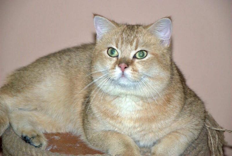 Mèo ALN